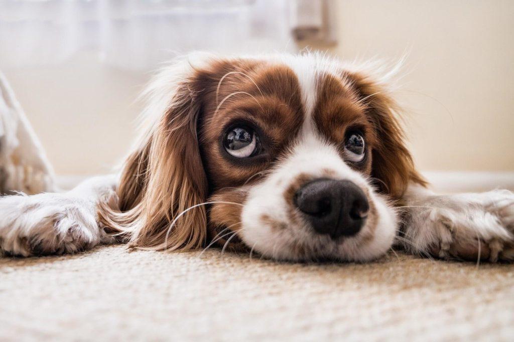 Como adestrar seu cão em casa?