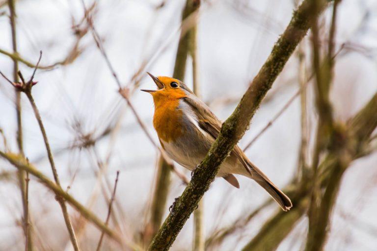 Canto dos pássaros para relaxar