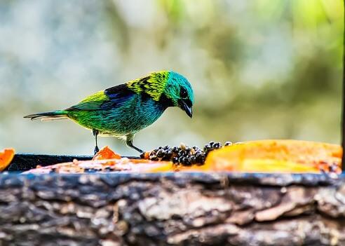 Qual é a ave mais bonita do mundo